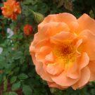 Rose quer